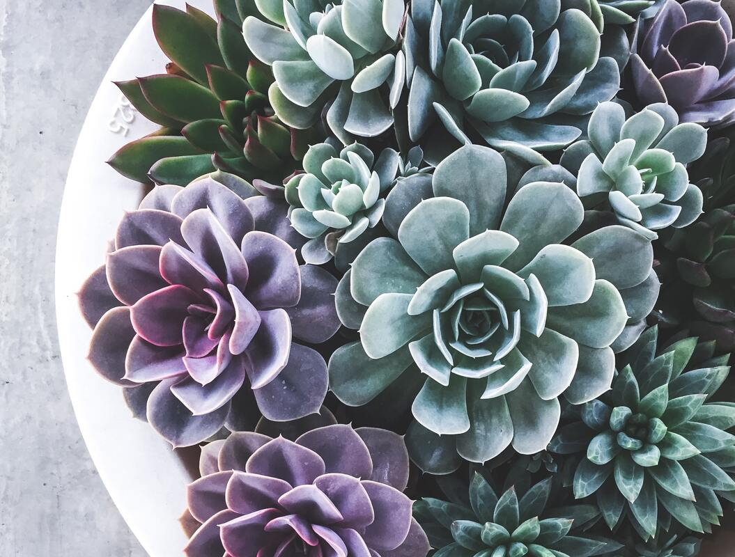Succulents in shades of green and purple arranged on a white background