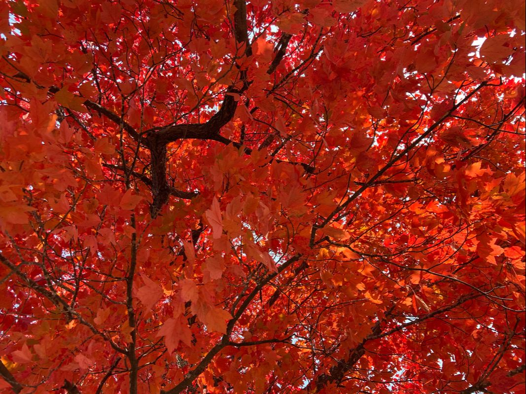 Red maple leaf foliage
